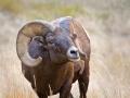 Bighorn Ram.jpg